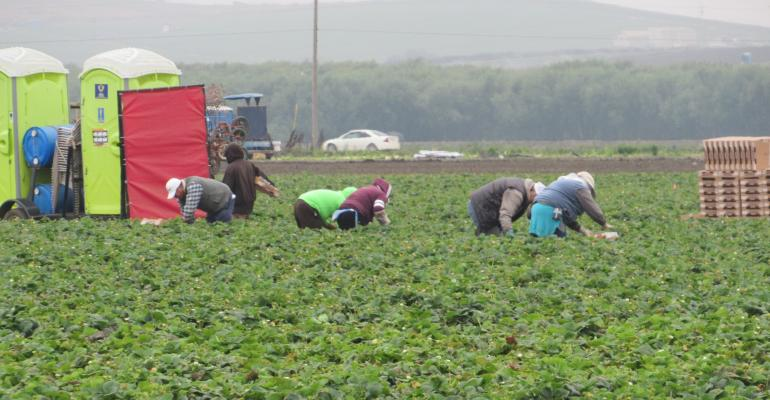 Workers picking strawberries