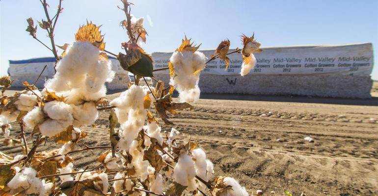 California cotton ready for harvest
