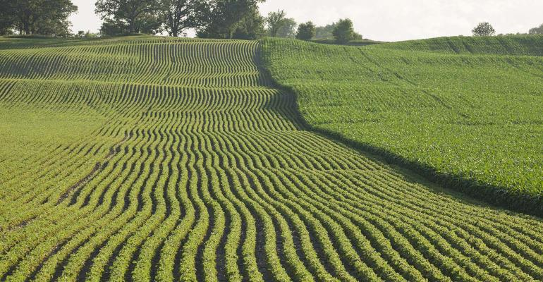 Two fields of corn and soybeans next to each other in late afternoon sunlight
