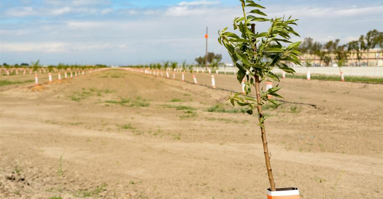 Young almond trees
