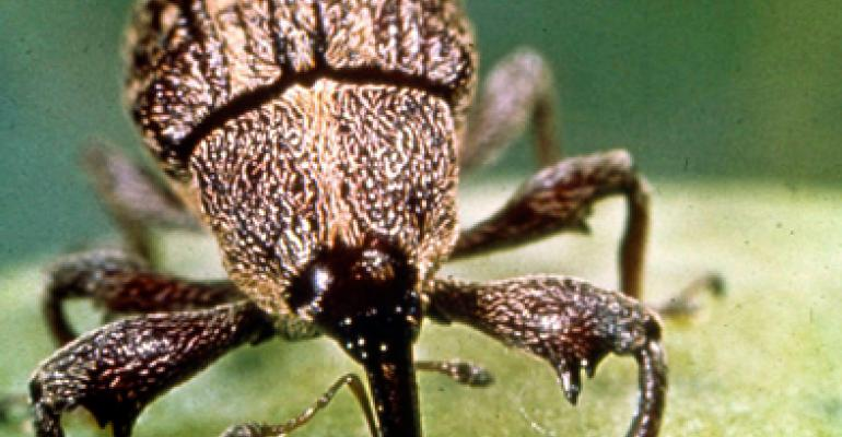 Hard freeze, aggressive program reduce boll weevil numbers