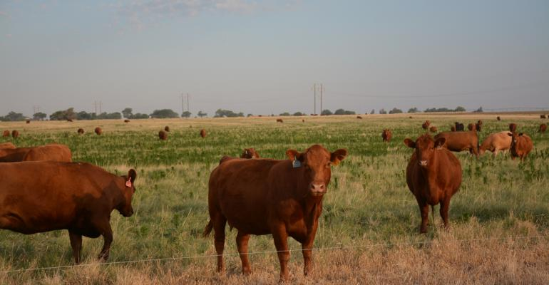 cattle group