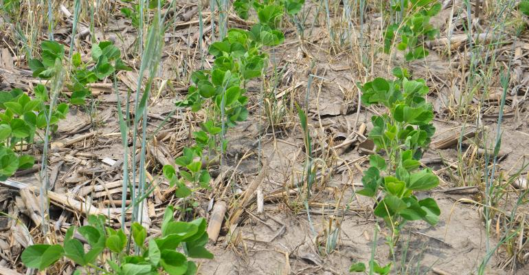 soybeans growing in cereal rye