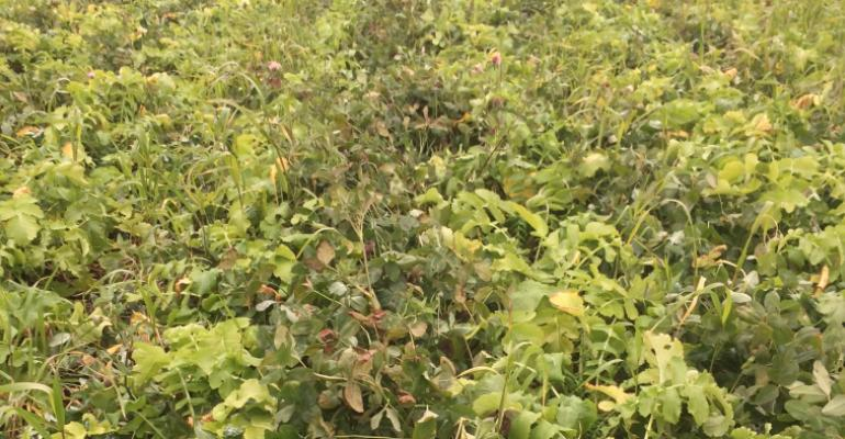 clover and radish cover crops