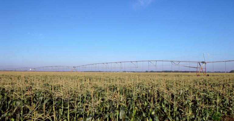 corn field with irrigation