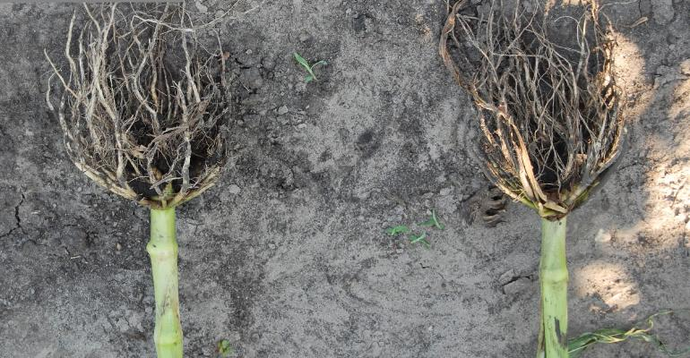 corn plant roots damaged by rootworm