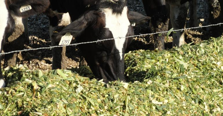 Corn silage dairy cow