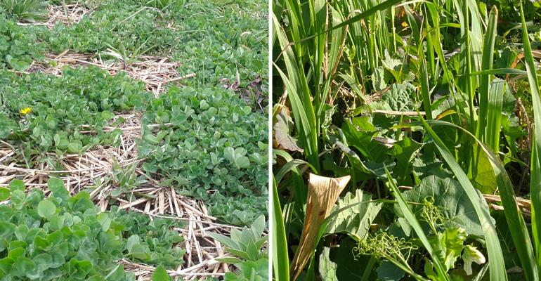 Red clover plus sweet clover (left) and oats plus sorghum-sudangrass plus peas plus rapeseed (right)
