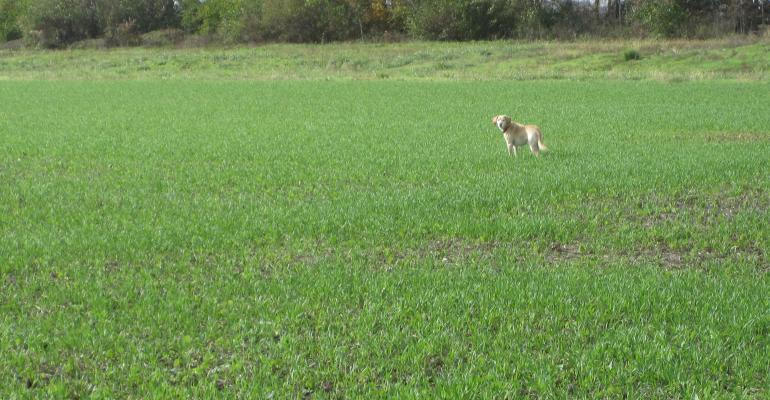 dog standing in field of cover crops
