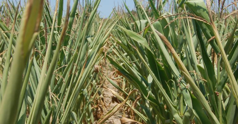 cornfield affected by drought