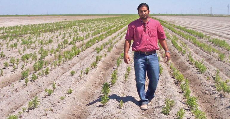 Difficulty in getting planting material through customs meant a delay in planting and subsequently some bare spots in test plots for stevia in the Chowchilla area Here Koren Sihota SW stevia program director walks through the field