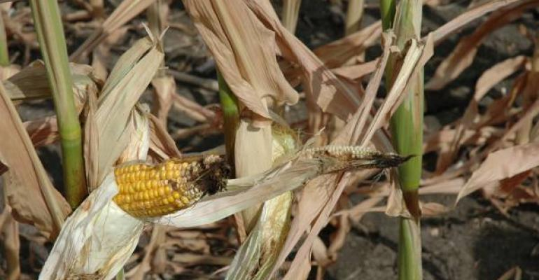Multi-pronged approach essential to manage aflatoxin in corn