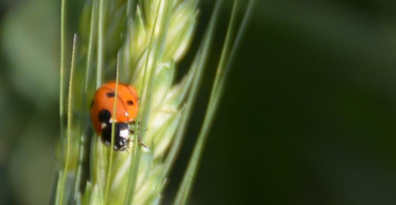 A ladybug patrols a wheat head in search of dinner
