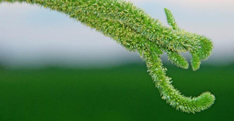 Pigweed is the 'Satan' of resistant weeds