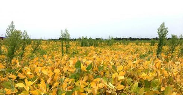 herbicide resistance marestail+in+soy