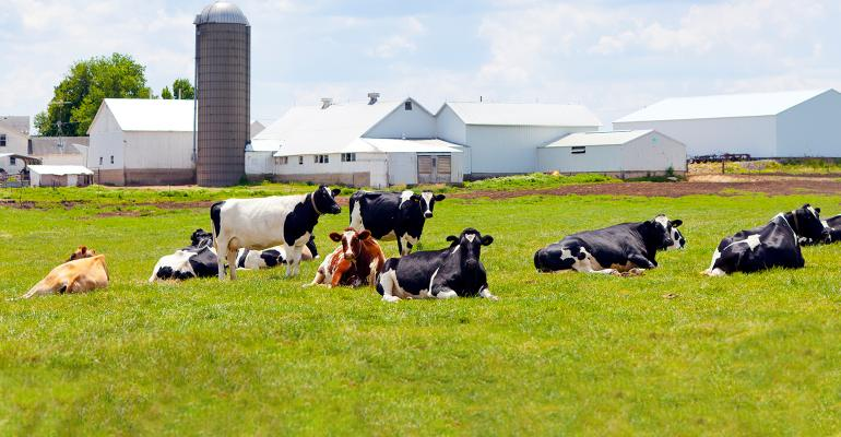 dairy cattle at rest in green pasture