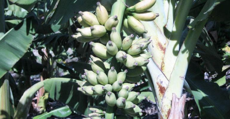 U.S. banana supply threatened by TR4 disease