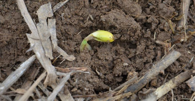 soybean seedling