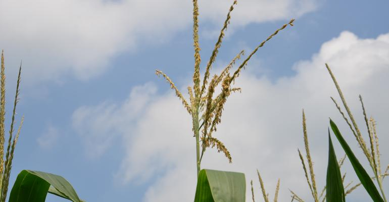 corn tassels against cloudy sky