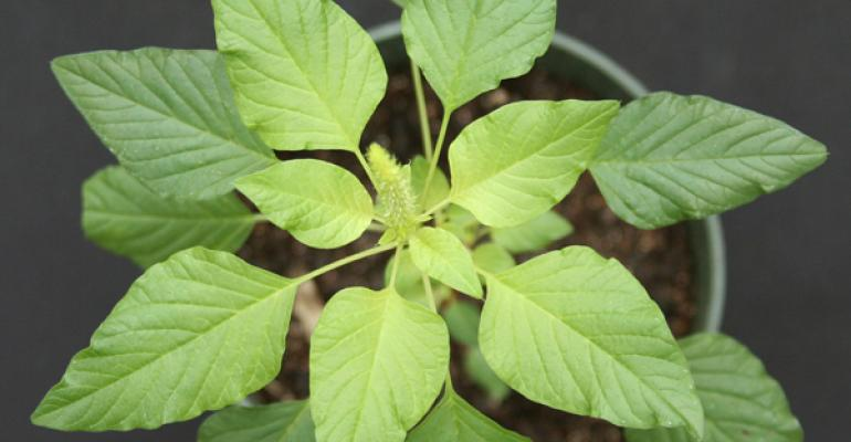 Palmer amaranth an aggressive invasive weed has the potential to cause economic and yield losses in Indiana crop fields Purdue Extension weed scientists have created a guide to help crop producers properly identify and manage the weed