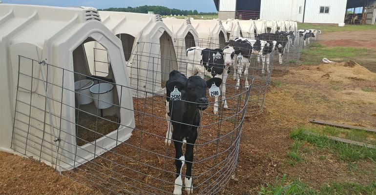 Holstein calves and huts