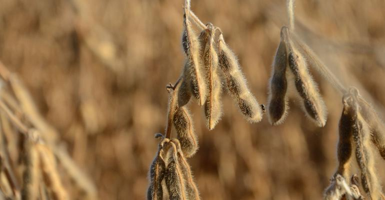 soybeans-vogt-late-season.jpg