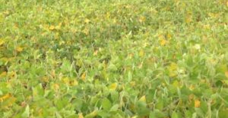 soybeans%20yellowing%20,%20dropping%20leaves