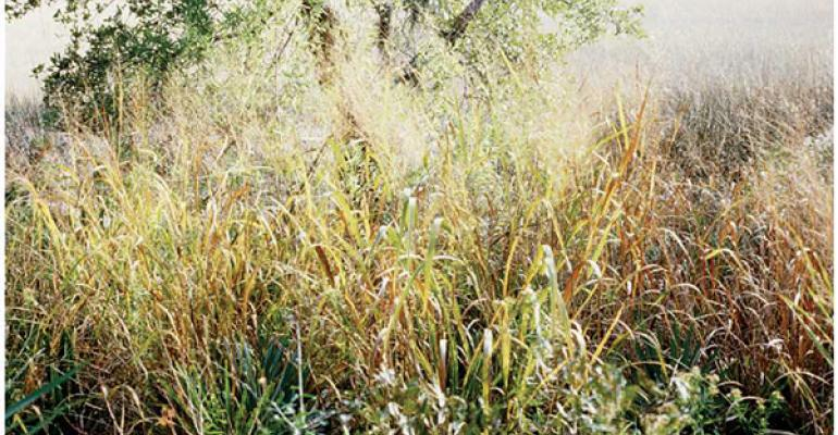 Fall brush control for huisache