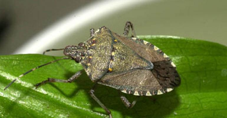Identifying stink bug species is research goal
