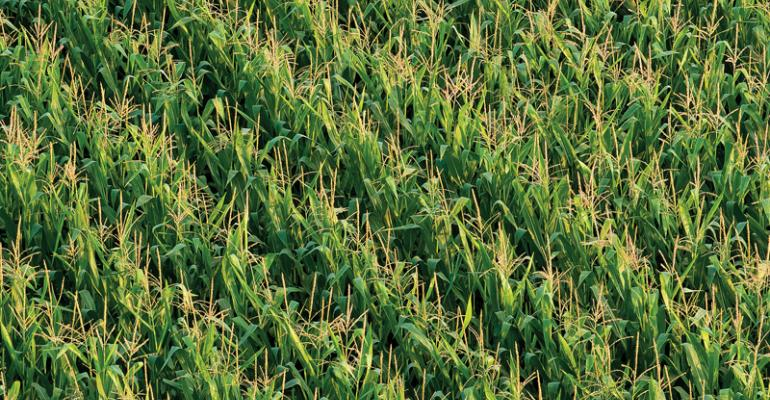 Corn specialists suggest testing a higher seeding rate in your fields