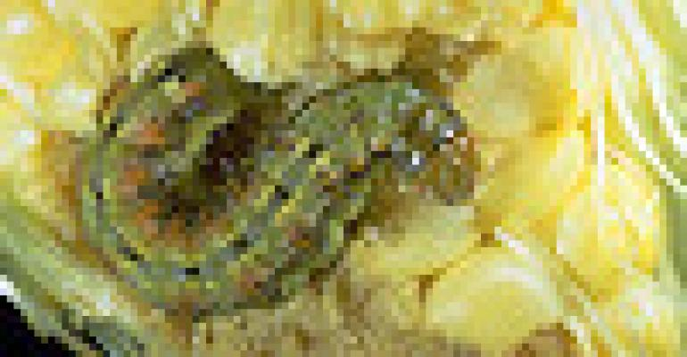 Corn Rootworm Now Tracked Online