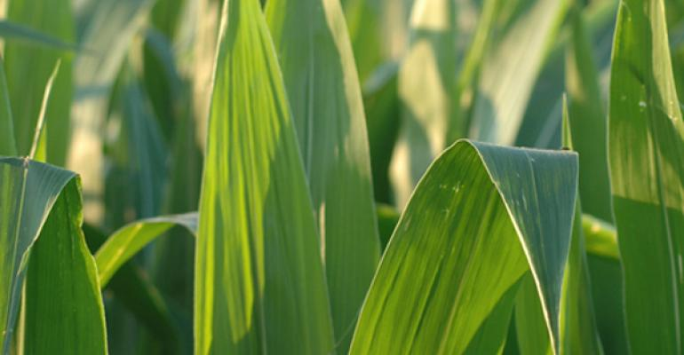 Corn Market Remains Unsettled