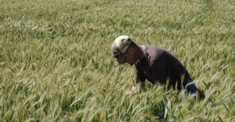 WITH GOOD POTENTIAL Eric Williams is a bit hesitant to predict final yield from this wheat field but he expects a good harvest