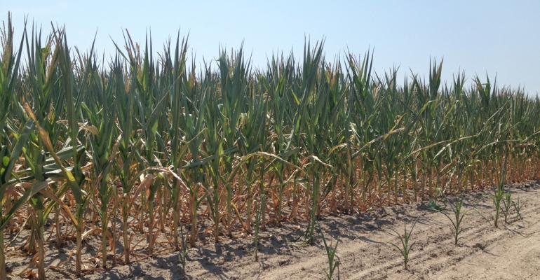 The 2012 Drought: Nutrient deficiency problems created