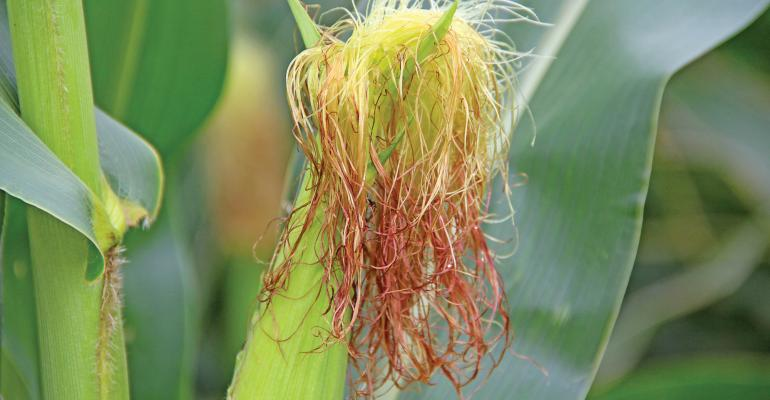Corn supply and demand – much uncertainty