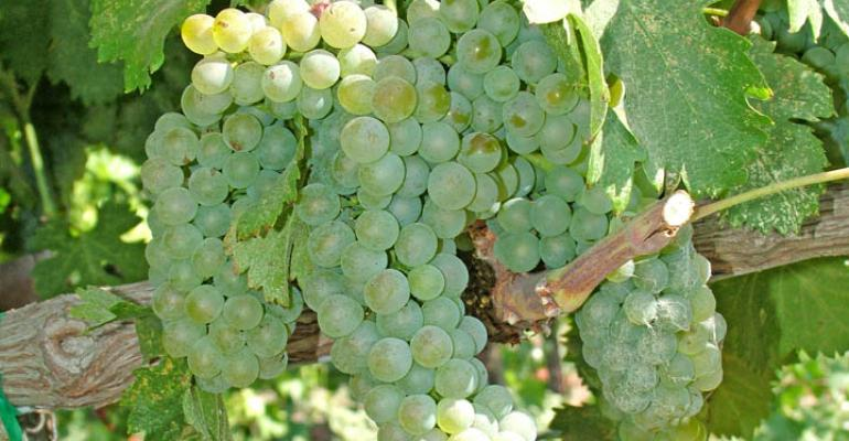 Excessive heat that has cloaked the Central Valley in midAugust is threatening the wine grape crop Exposed bunches like these could be subject to sunburn