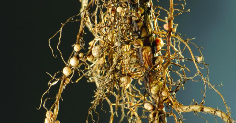 Soybean roots with SCN