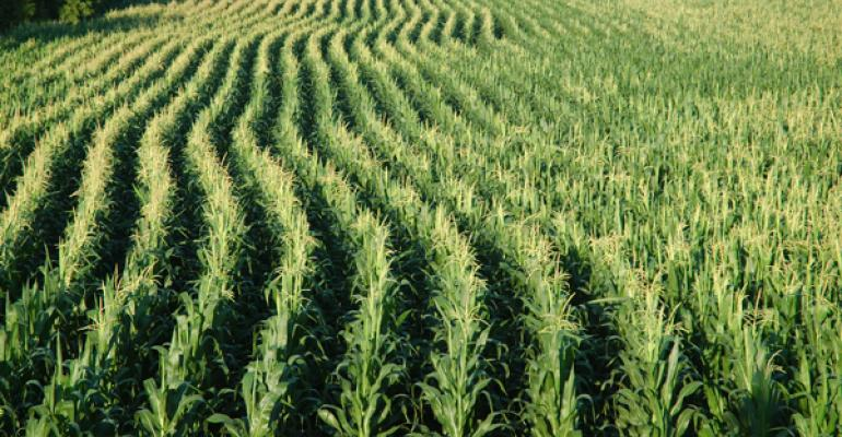 How does recent cool weather affect corn yield, maturity?