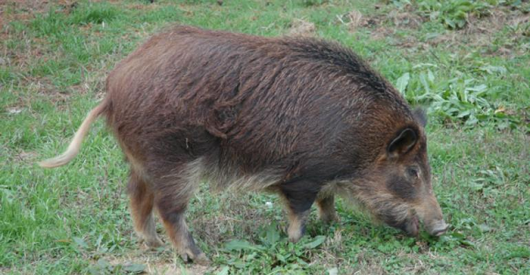 Here's how livestock producers can profit from the feral swine invasion