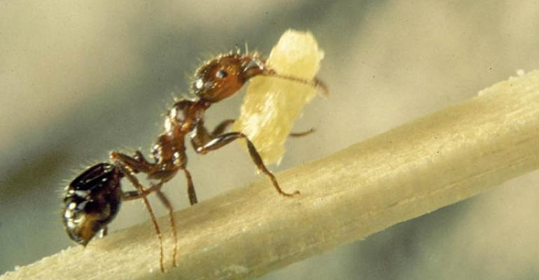 Fire ants vs. Benadryl a battle of pain