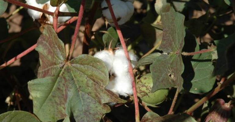 Cotton may offer better profit opportunities in 2013 than grain sorghum but growers should look closely at budgets and other factors