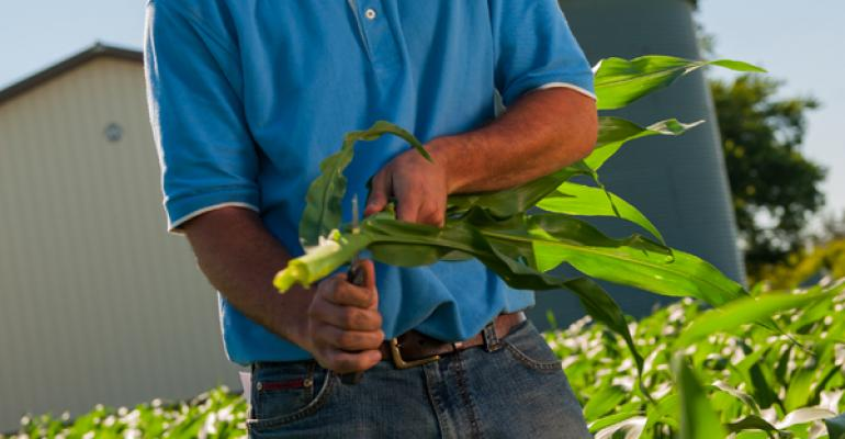 Scout for Weeds, Pests in Corn, Soybeans Early, Often, Walking the Field