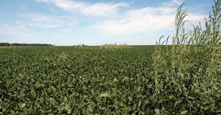 Patches of uncontrolled waterhemp can take over entire fields in a year or two without an effective weed resistance management plan