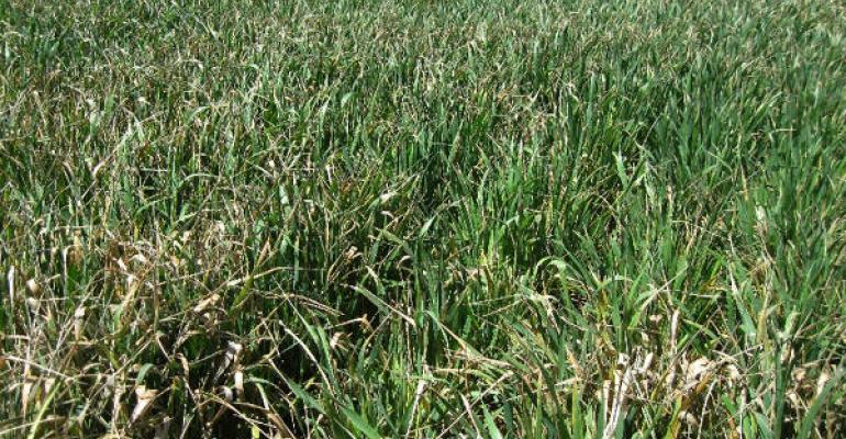 Texas AampM AgriLife Extension Service experts say farmers who are finding significant freeze damage to their wheat fields might consider haying the crop