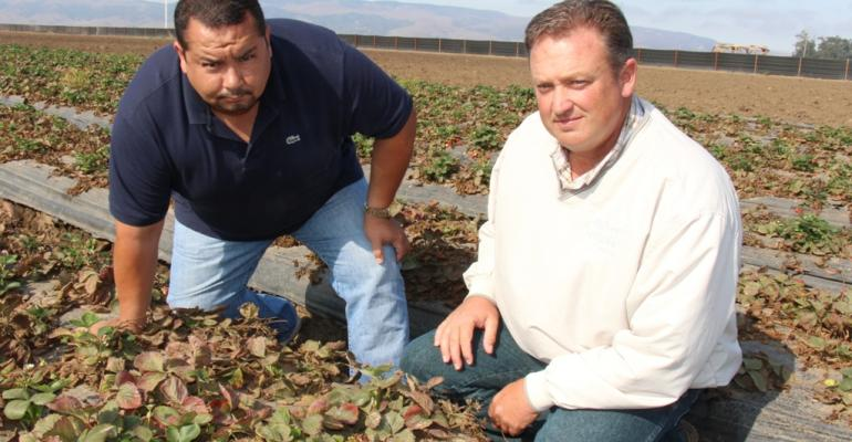 CALIFORNIA STRAWBERRY grower Jerry Cardenas left Big J Produce and pest control adviser John Gracia AG RX both of Santa Maria examine plants affected by pallidosisrelated decline disease of strawberry on Cardenasrsquo farm operation