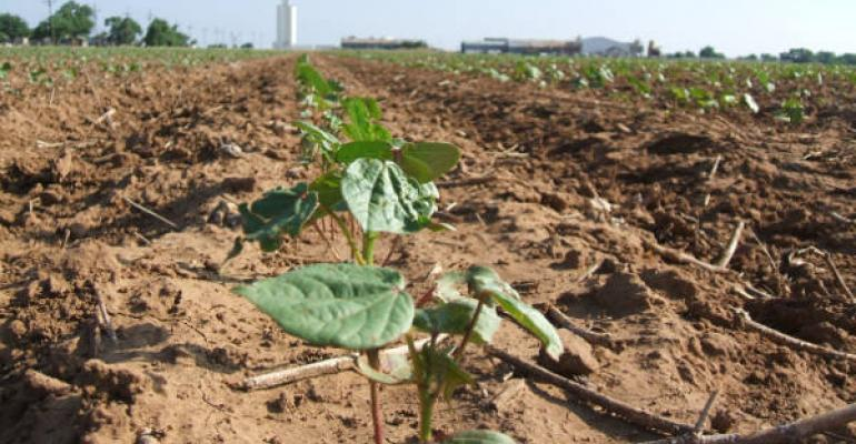 Latest estimates are that cotton plantings will be down 13 percent this year according to Texas AampM AgriLife Extension Service agronomists