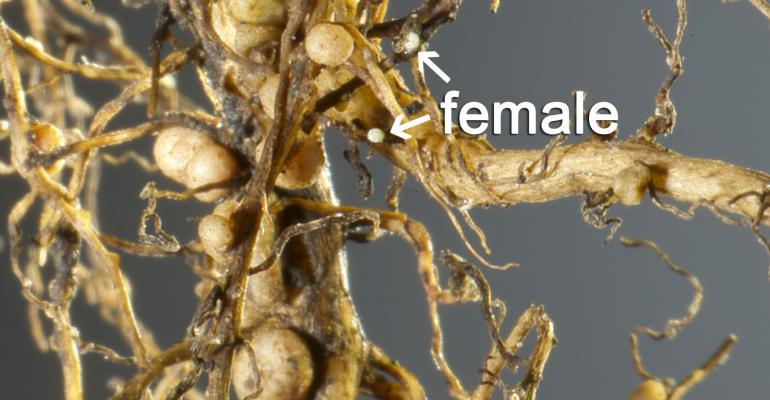 Soybean cyst nematode egg sac on soybean roots