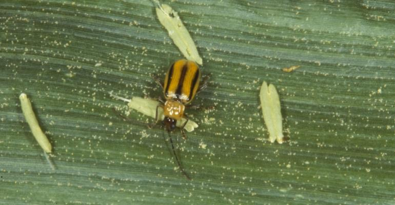 western corn rootworm beetle