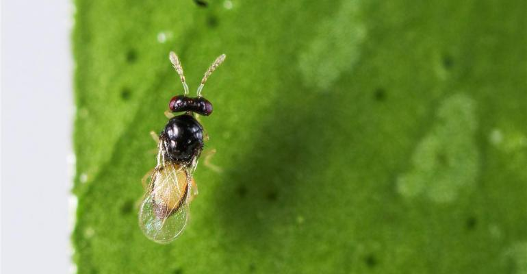 A parasitic wasp found in Pakistan was released in San Diego County as part of a study to see if the wasp can help control Asian Citrus Psyllid populations