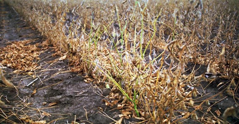Soybean plants with the green stem disorder